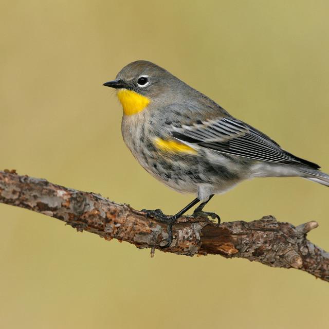 """Mirtezanger; Yellow-rumped Warbler; Setophaga coronata"" stock image"