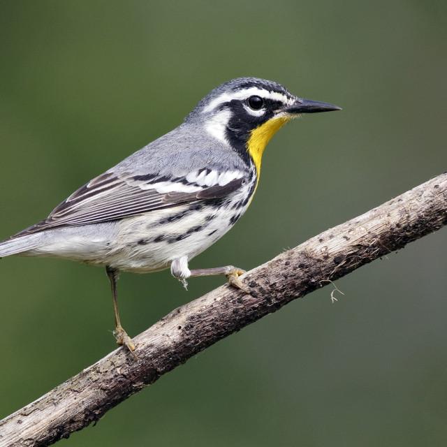 """Geelkeelzanger, Yellow-throated Warbler, Setophaga dominica"" stock image"