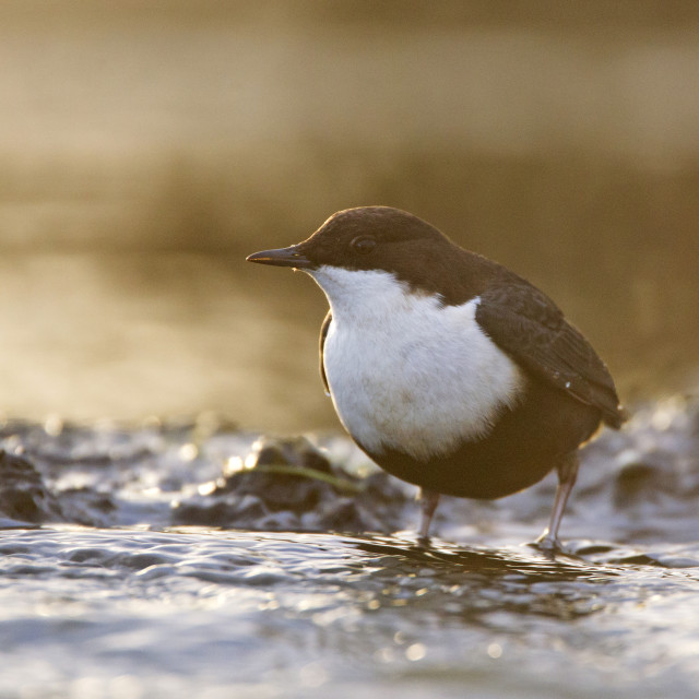 """Waterspreeuw, White-throated Dipper, Cinclus cinclus"" stock image"