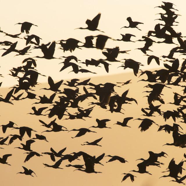 """""""Zwarte Ibis, Glossy Ibis, Plegadis falcinellus"""" stock image"""