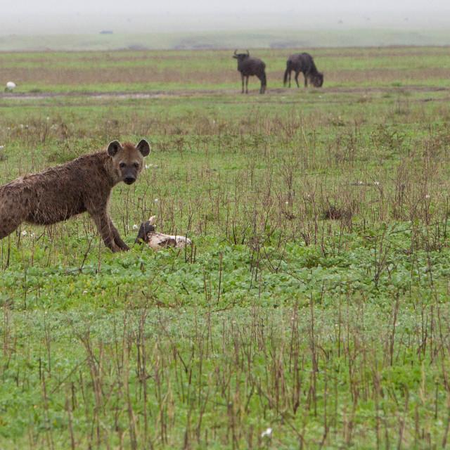 """""""Hyena"""" stock image"""