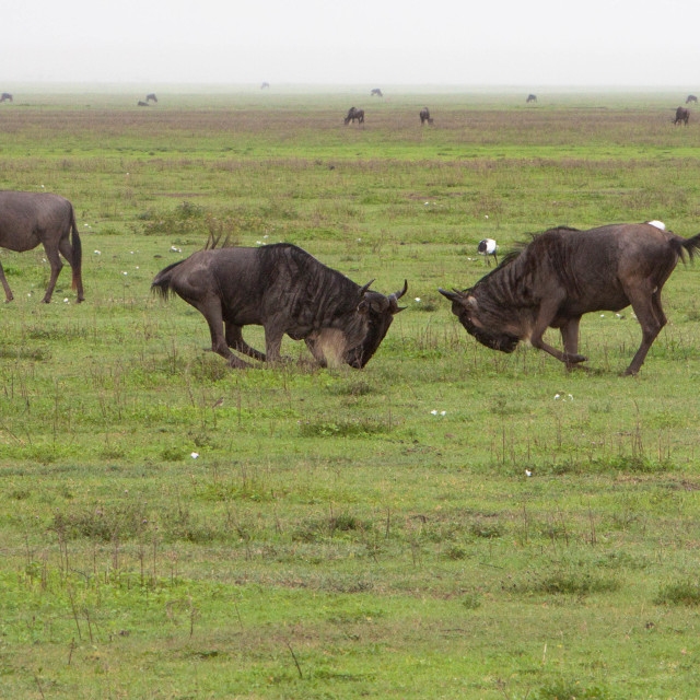 """Western Wildebeest Fighting"" stock image"