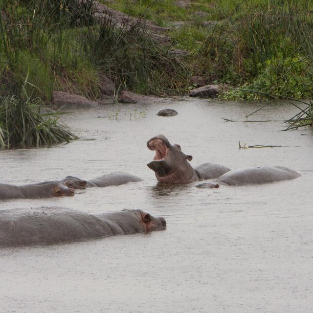 """Hippos"" stock image"