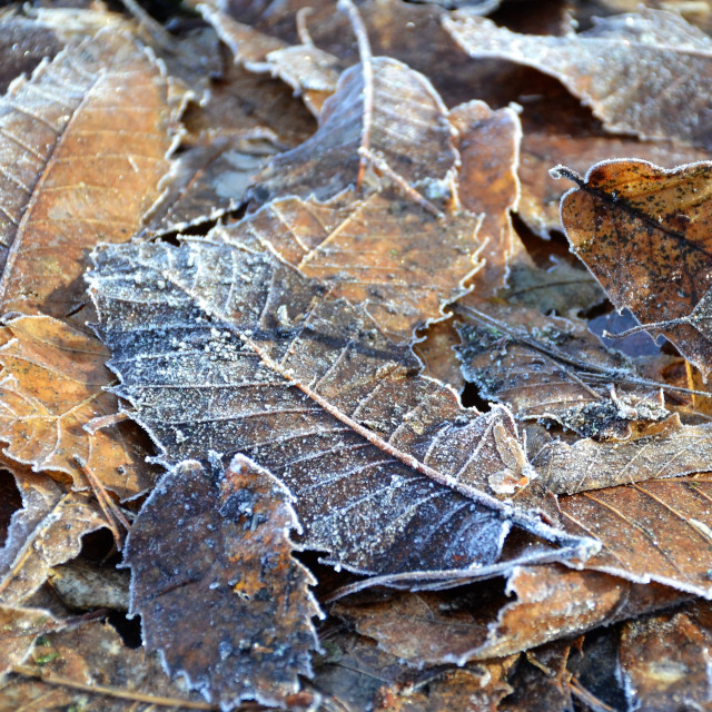 """Frosty leaves"" stock image"
