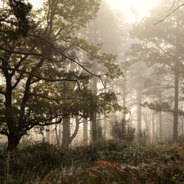 """Misty Woodland"" stock image"