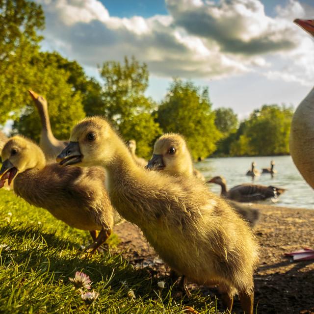 """""""Duck at lake"""" stock image"""