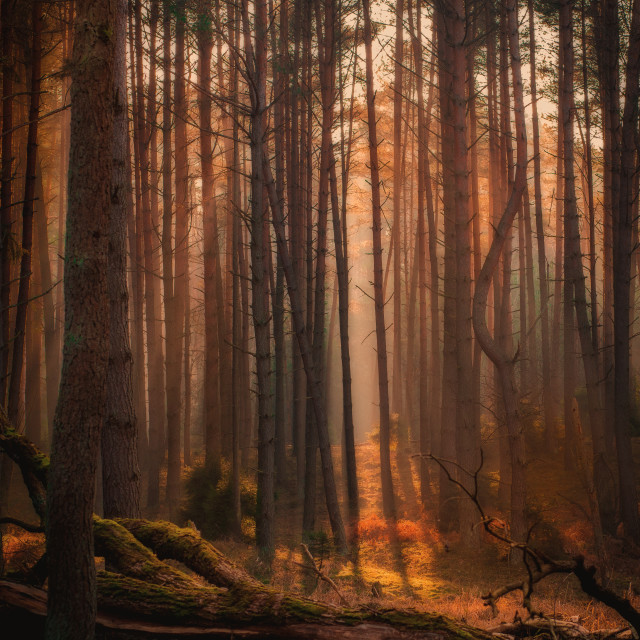 """""""Sunset in forest"""" stock image"""