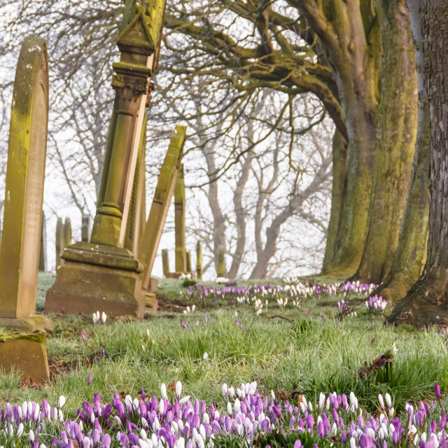 """Crocuses in a Cemetery"" stock image"