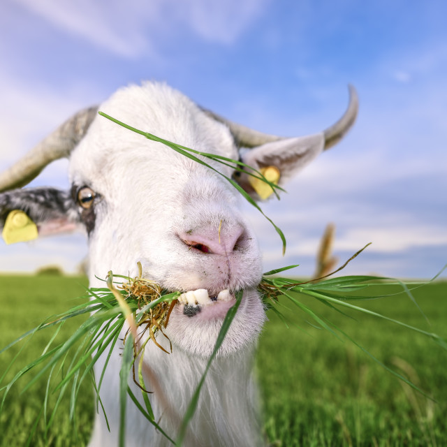 """Goat with funny teeth and grass in mouth"" stock image"