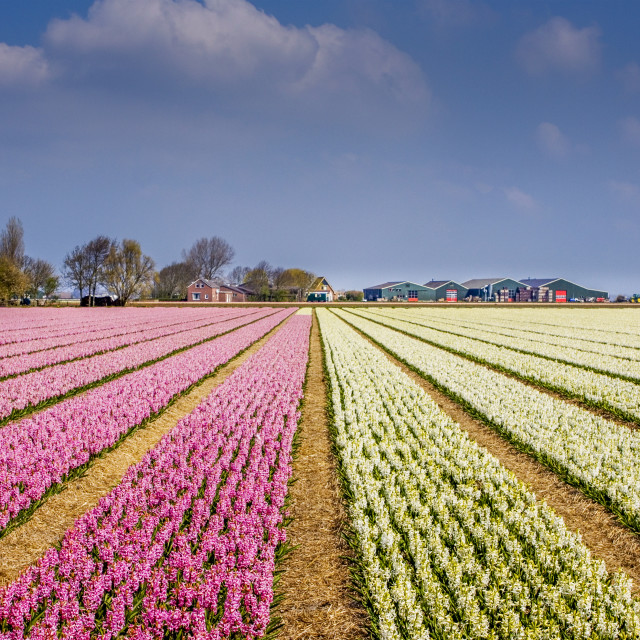 """Flowers from Holland"" stock image"