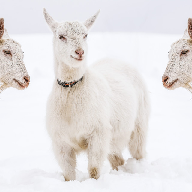 """Goats in the snow"" stock image"