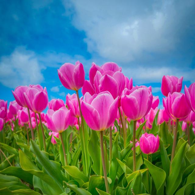 """Dutch tulips"" stock image"