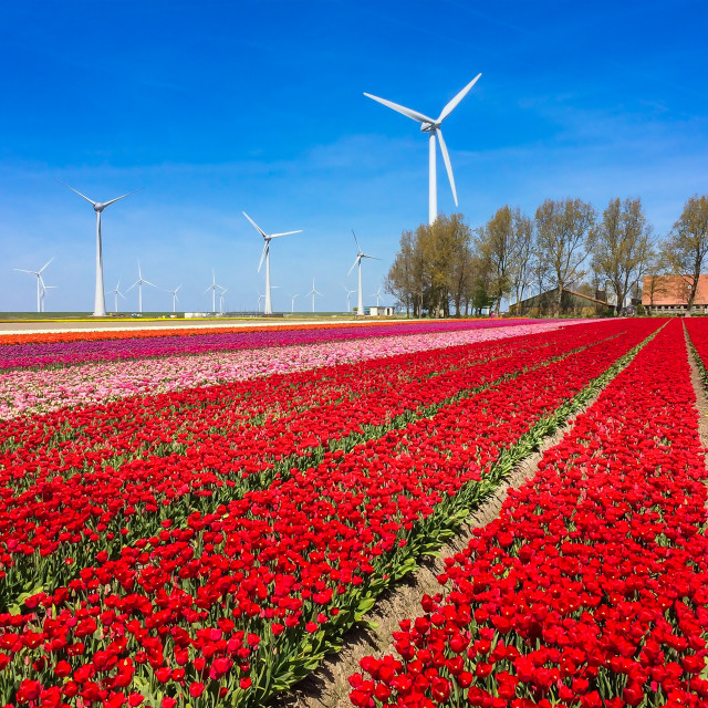 """Flowers and windmills in Holland"" stock image"