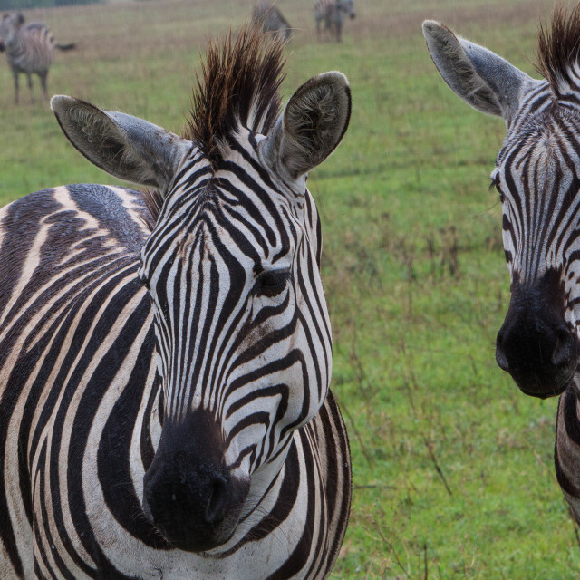 """Zebras in pairs"" stock image"