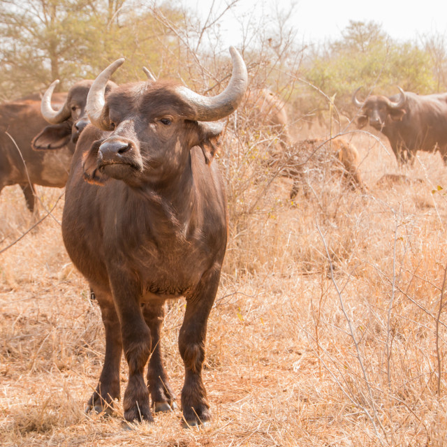 """Buffalo full length of an animal facing the camera"" stock image"