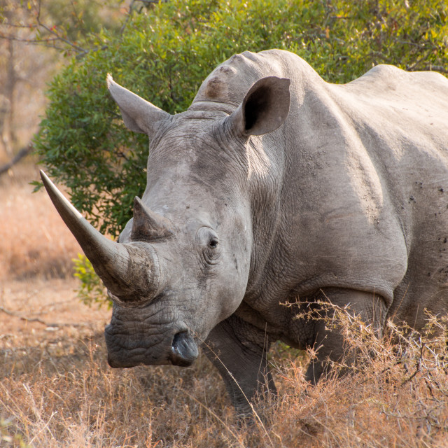 """White rhinoceros full length"" stock image"