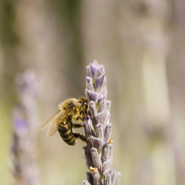 """Honey bee on lavender"" stock image"