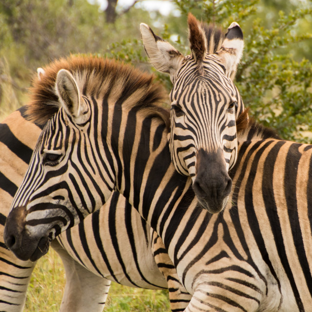 """Two zebras hugging closeup"" stock image"