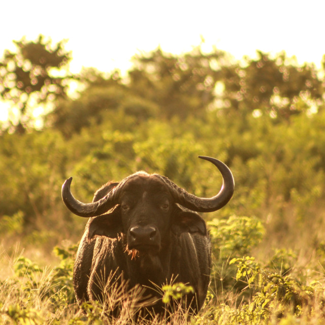 """Buffalo standing in golden light of sunset"" stock image"