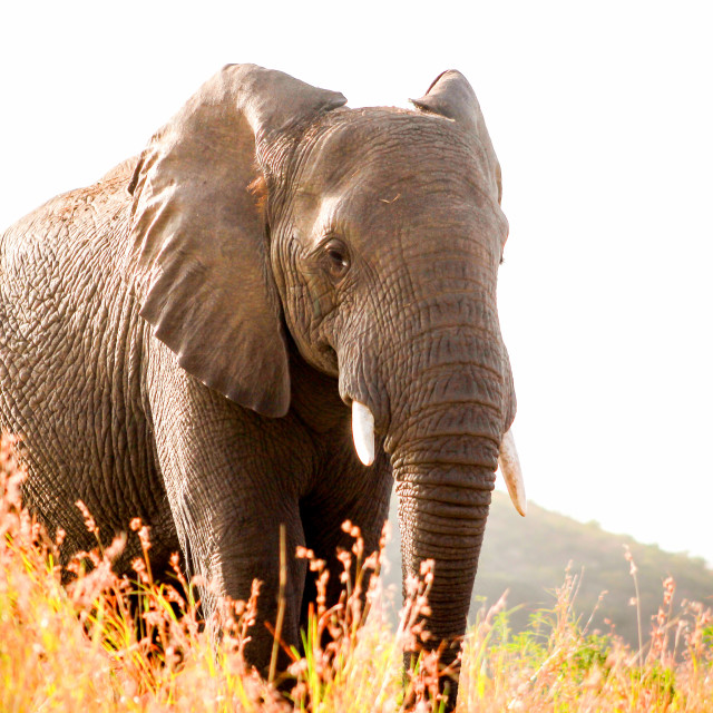 """Elephant in bright sunlight at sunset"" stock image"