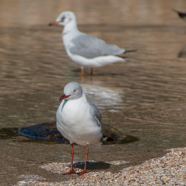 """Seagull bird standing in a puddle of water"" stock image"