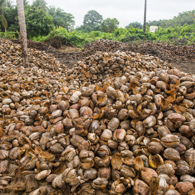 """Coconut farm in Assinie, Ivory coast"" stock image"