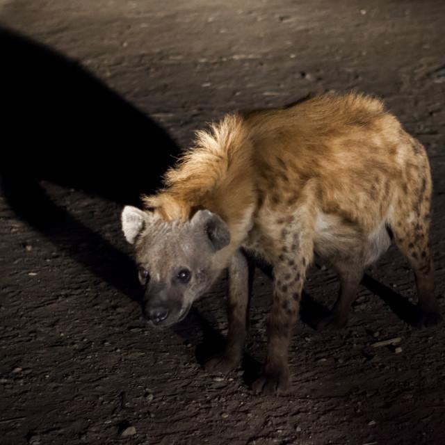 """""""Hyenas Feeding Show, Harar, Ethiopia"""" stock image"""