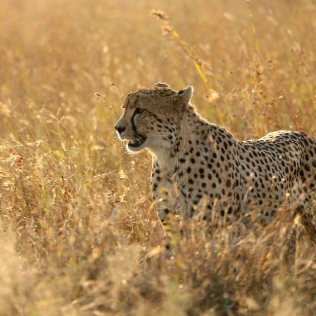 """Kruger National Park. Lower Sabie. Cheetah ( Acinonyx jubatus ) in savanna...."" stock image"