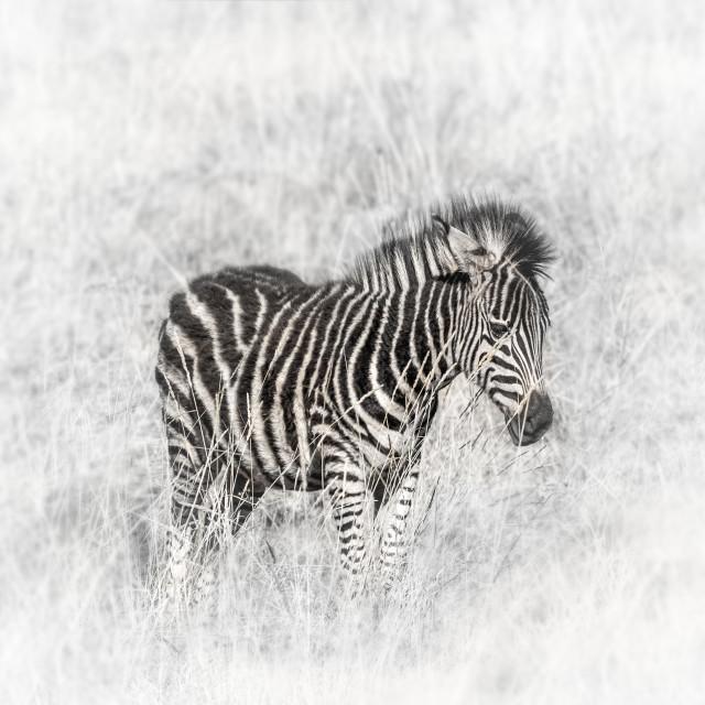 """""""Zebra in the Wild"""" stock image"""