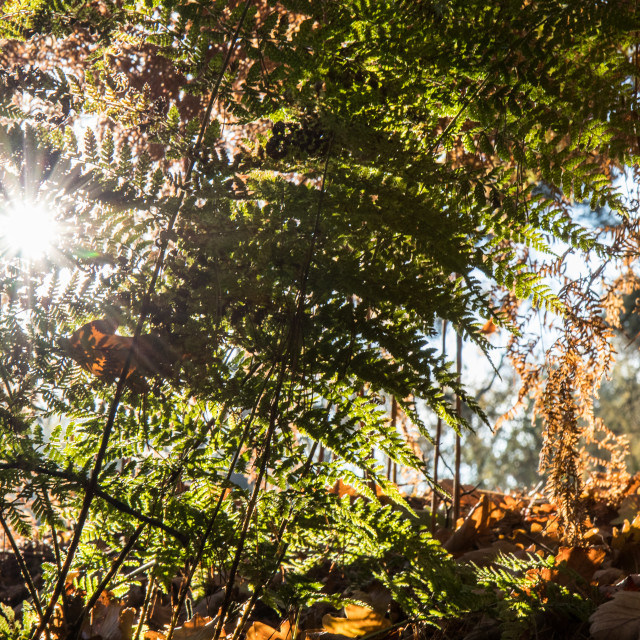 """Autumn sunshine through ferns"" stock image"