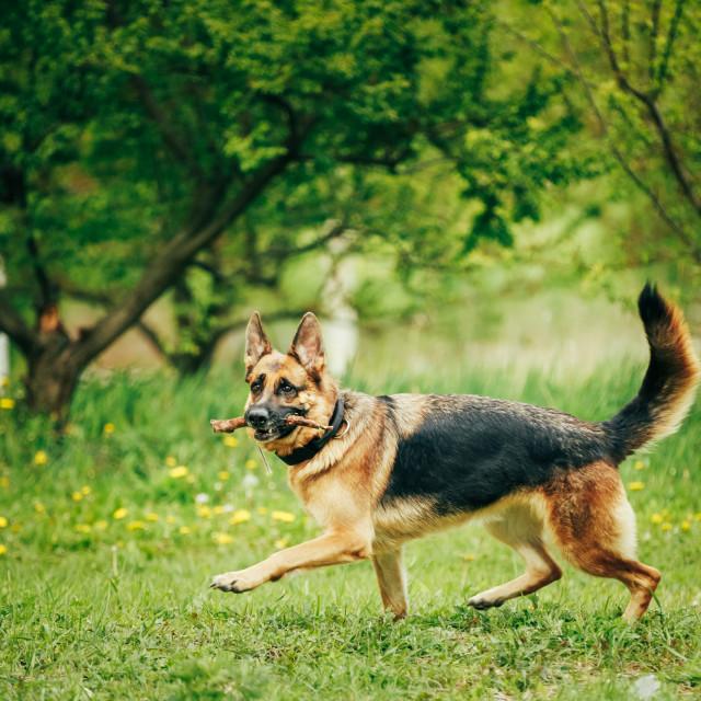 """""""German Shepherd Stick Chewing Outdoor"""" stock image"""
