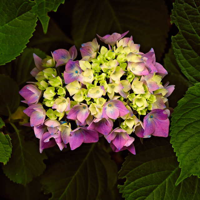 """""""Hydrangea Bush Surrounded by Leaves in Nature"""" stock image"""