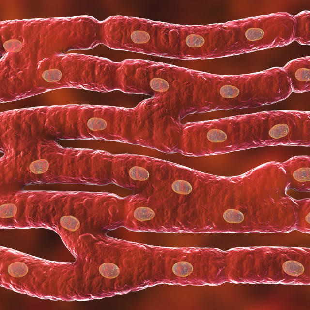 """""""Heart muscle structure, illustration"""" stock image"""