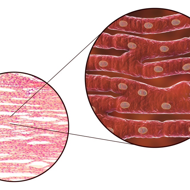 """""""Heart muscle structure, illustration and micrograph"""" stock image"""