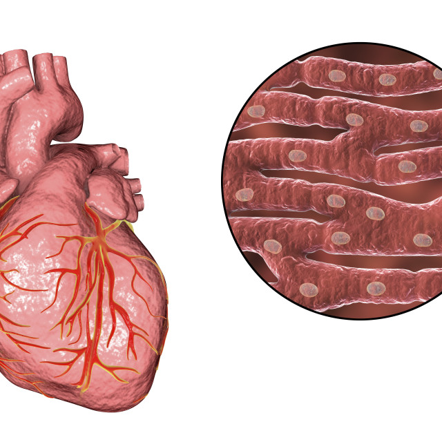"""""""Human heart and cardiac muscle, illustration"""" stock image"""