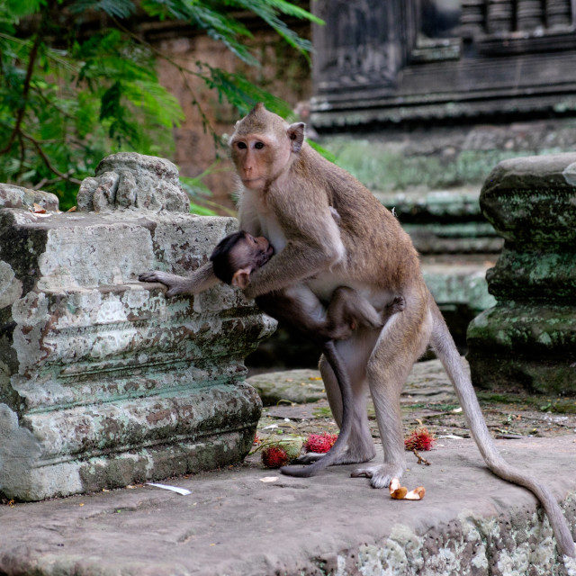 """""""Monkey carrying a baby"""" stock image"""