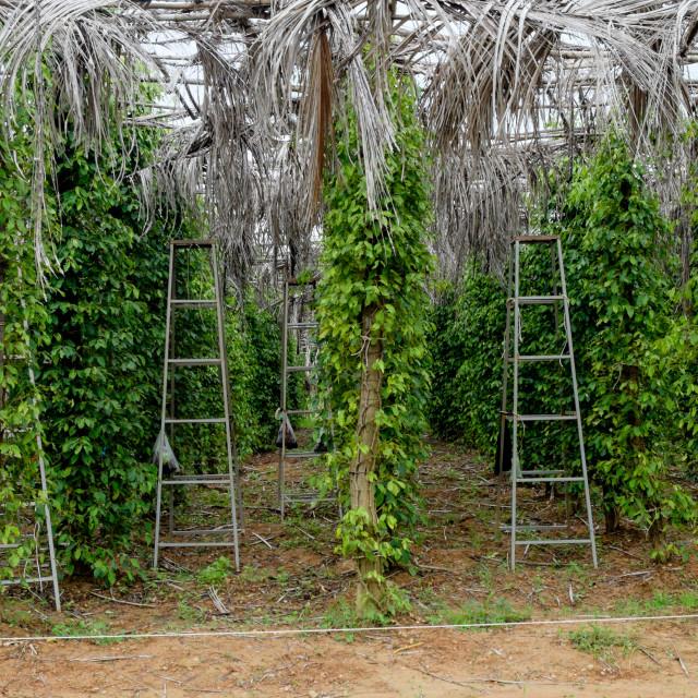 """""""Pepper Farm in Cambodia"""" stock image"""