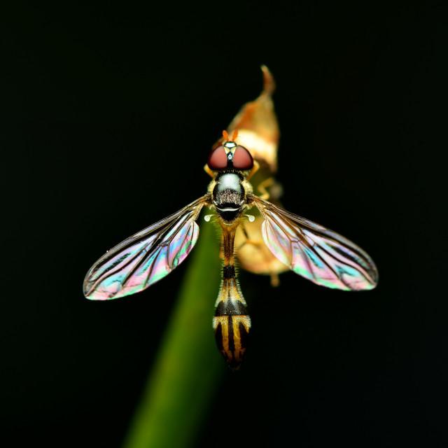 """Fruit fly"" stock image"