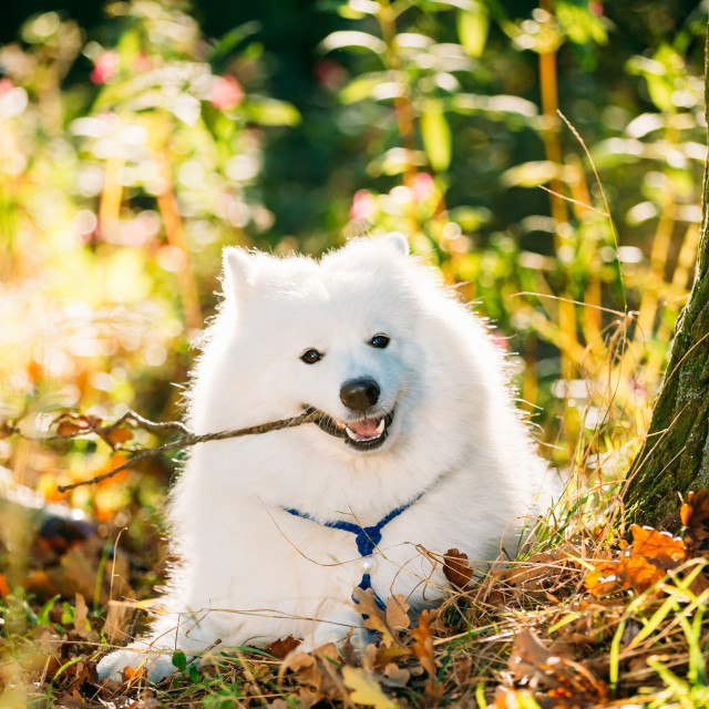 """""""Funny Happy White Samoyed Dog Outdoor in Autumn Forest. Puppy Sitting In..."""" stock image"""