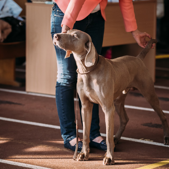 """""""The Weimaraner is a large dog that was originally bred for hunting in the..."""" stock image"""