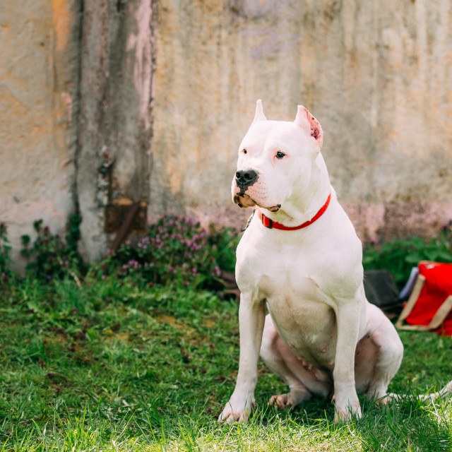 """""""White Dog Of Dogo Argentino Also Known As The Argentine Mastiff"""" stock image"""