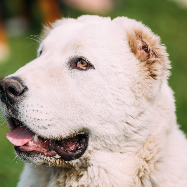 """""""Potrait Of Central Asian Shepherd Dog. Alabai - An Ancient Breed From The..."""" stock image"""