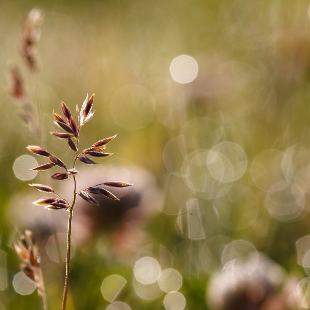 """Brome Grass"" stock image"