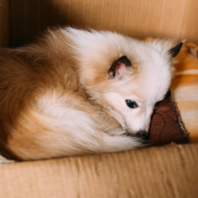 """Small Size Mongrel Mixed Breed White Red Adult Dog With Prick-Ears Lying..."" stock image"