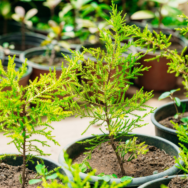 """Green Sprouts Of Spruce Or Fir-tree Tree Plant With Leaf, Leaves Growing From..."" stock image"