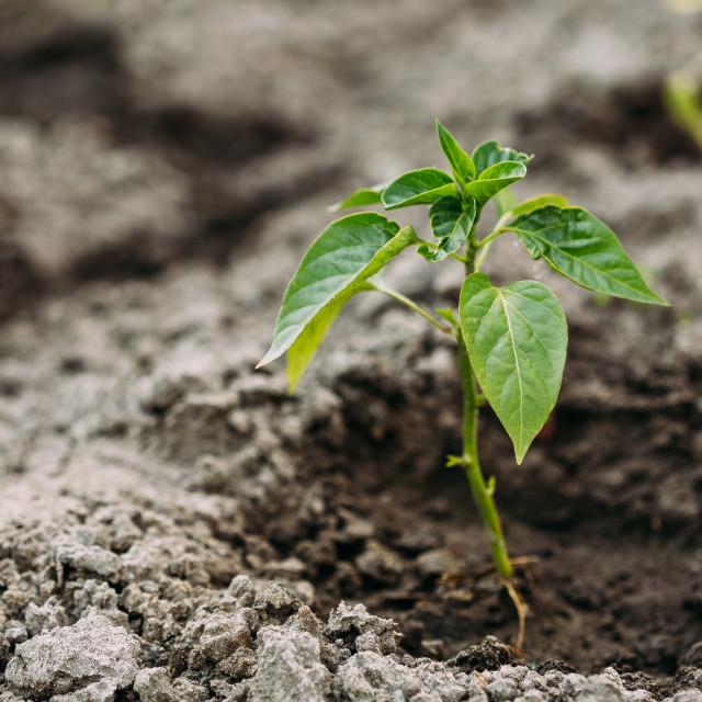 """Close Small Green Vernal Seedling Of Capsicum, Pepper Or Capsicum Annuum..."" stock image"