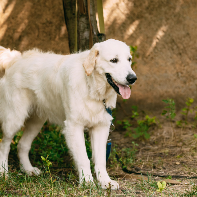 """""""Yellow Golden Labrador Retriever Dog With Half Open Jaws Mouth, Tongue..."""" stock image"""