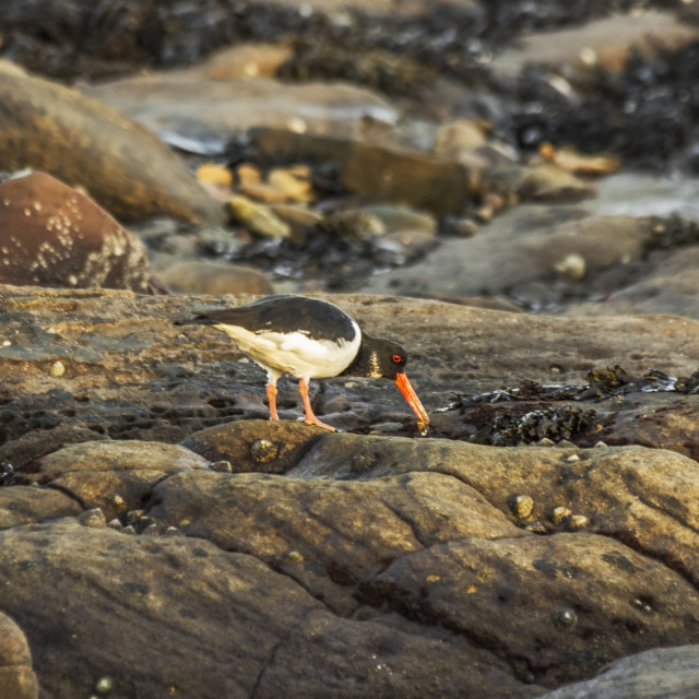 """""""Oystercatcher feeding at low tide"""" stock image"""