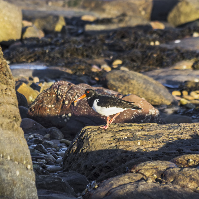 """""""Oystercatcher on rocks scavenging for food"""" stock image"""