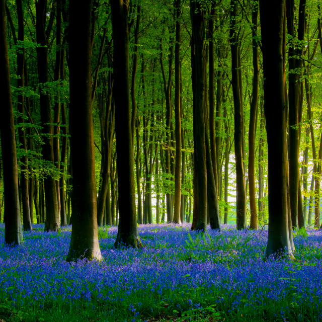 """""""Bluebell wood in Micheldever"""" stock image"""